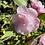 Thumbnail: Camellia Our Melissa