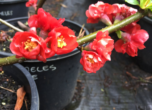 Chaenomeles Double Red PICK UP ONLY