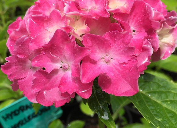 Hydrangea Macrophylla Harlequin PICK UP ONLY