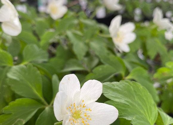 Anemone Nemorosa x Anemone trifolia