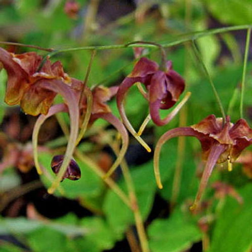 Epimedium x omeiense Storm Cloud