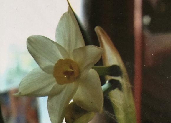 Narcissus Tanzetta tanzetta