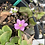 Thumbnail: Hepatica nobilis Rosea