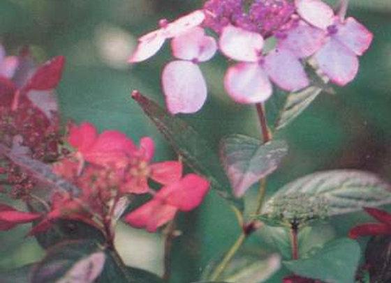 Hydrangea Serrata Grayswood PICK UP ONLY