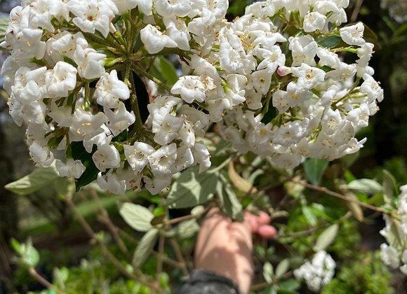 Viburnum x Burkwoodii Chenaultii PICK UP ONLY