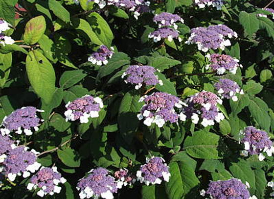 Hydrangea Aspera Robusta PICK UP ONLY