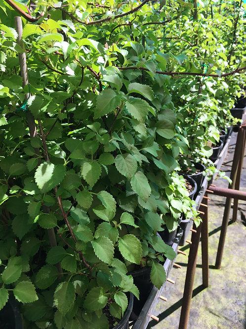 Hydrangea  Anamola Petiolaris Brookside Little Leaf