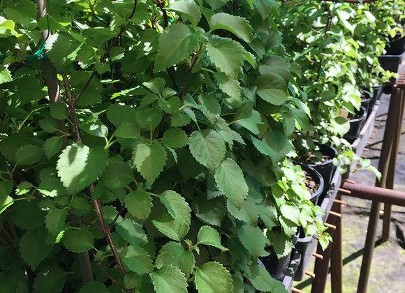 Hydrangea  Anamola Petiolaris Brookside Little Leaf PICK UP ONLY