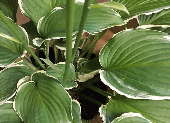 Hosta Albomarginata (undulata)