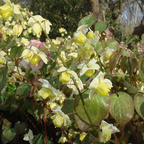 Epimedium Flowers of Sulphur