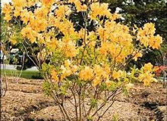 Deciduous azalea Toolangi Gold