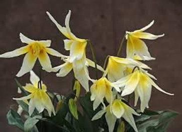 Erythronium multiscapideum cliftonii group