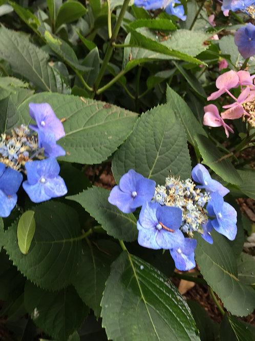 Hydrangea Macrophylla Nightingale