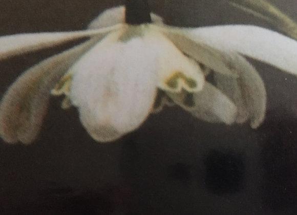 Galanthus Nivalis Flore Plena