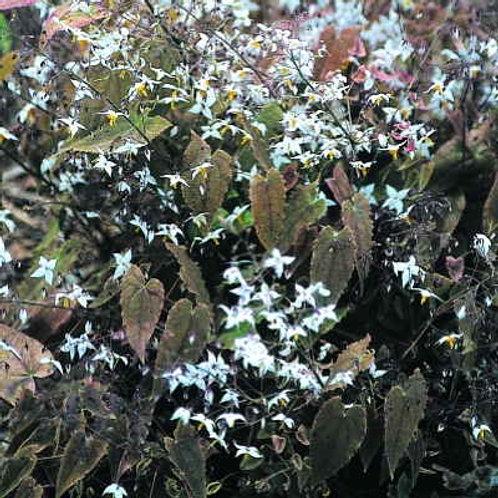 Epimedium Stellulatum
