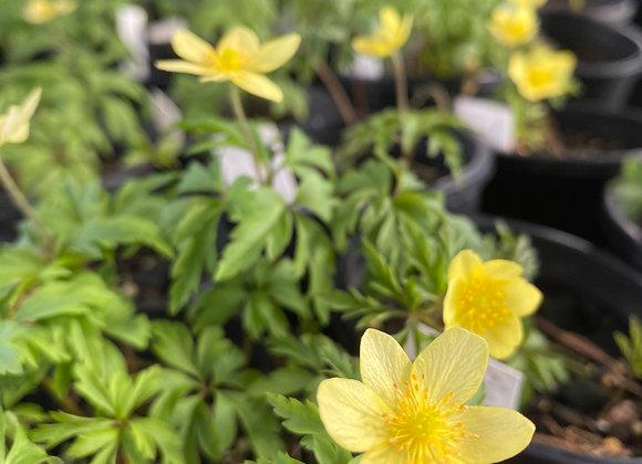 Anemone Nemorosa Yellow