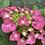 Thumbnail: Hydrangea Macrophylla Fasan PICK UP ONLY