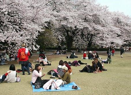 O poder das cerejeiras no Japão