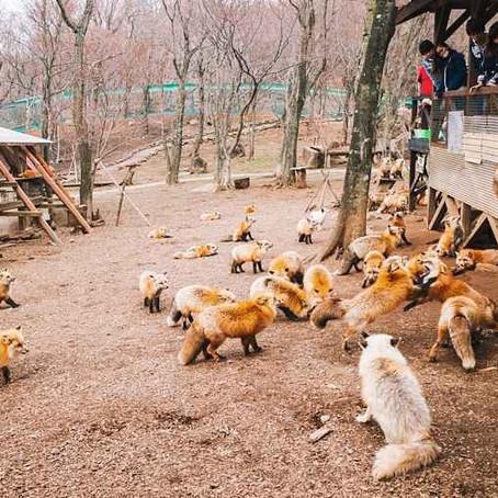 Conheça a vila japonesa cheia de raposas