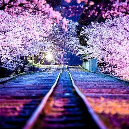 9 fatos que você provavelmente não sabia sobre a sakura