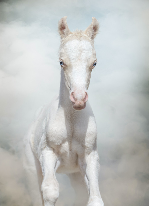 cream-welsh-pony-foal-whis-blue-eyes-PKX