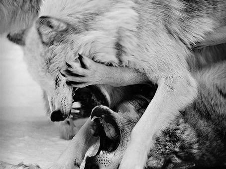 De vrede tussen 2 wolven (alternatief verhaal)