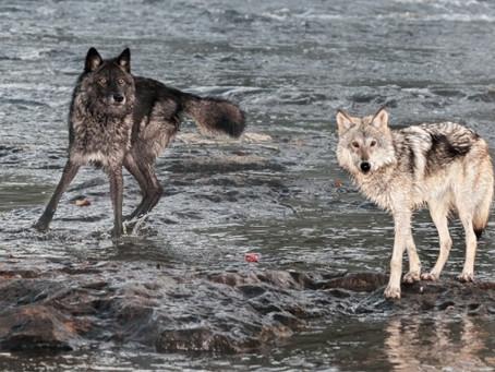 De strijd tussen 2 wolven (origineel verhaal)