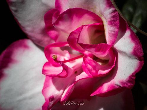 Macro Pink and White