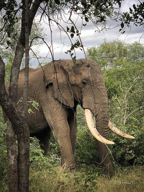 Large Tusk Elephant