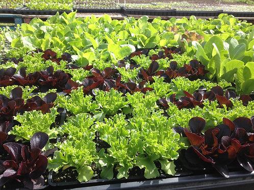6 pack lettuce starters to transplant