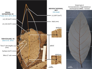 Publication: Reconstructing leaf area from fragments (Am. J. Bot).