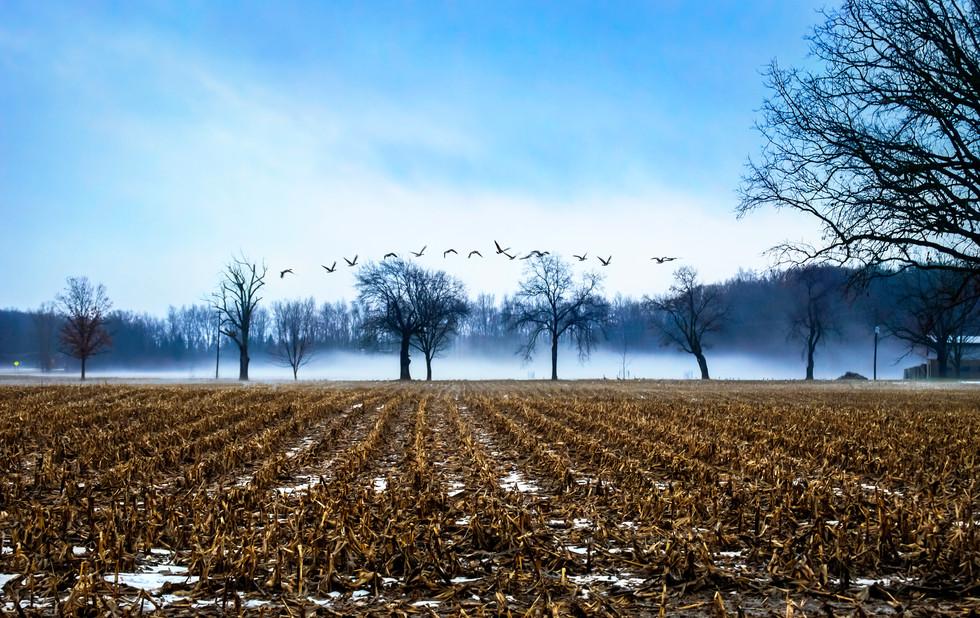 Canadian Geese off Platt Rd. Ann Arbor, Michigan. 07 February 2017, 6:07 A.M.