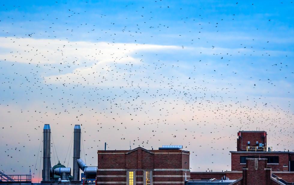 Crows flocking to Town. Ann Arbor, Michigan. 09 January 2020, 5:28 P.M.