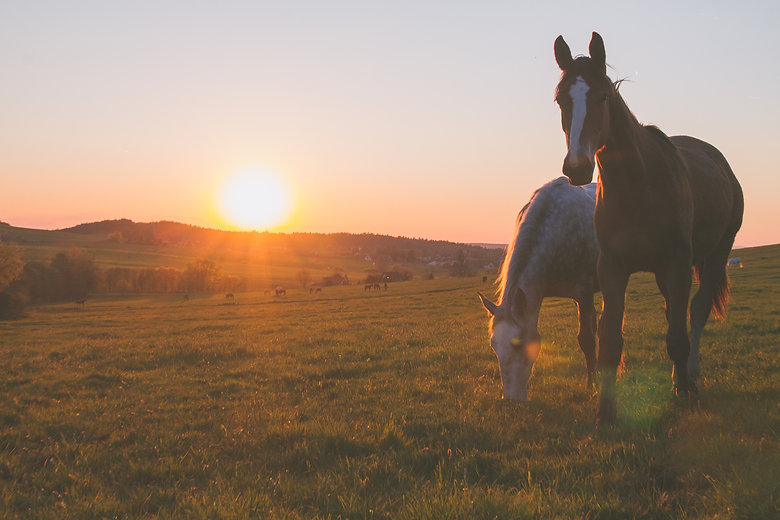 alone horse on meadow in sunset.jpg