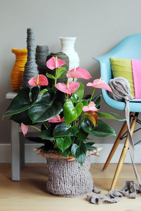 Pianta singola fiorita da interno (€15/120)