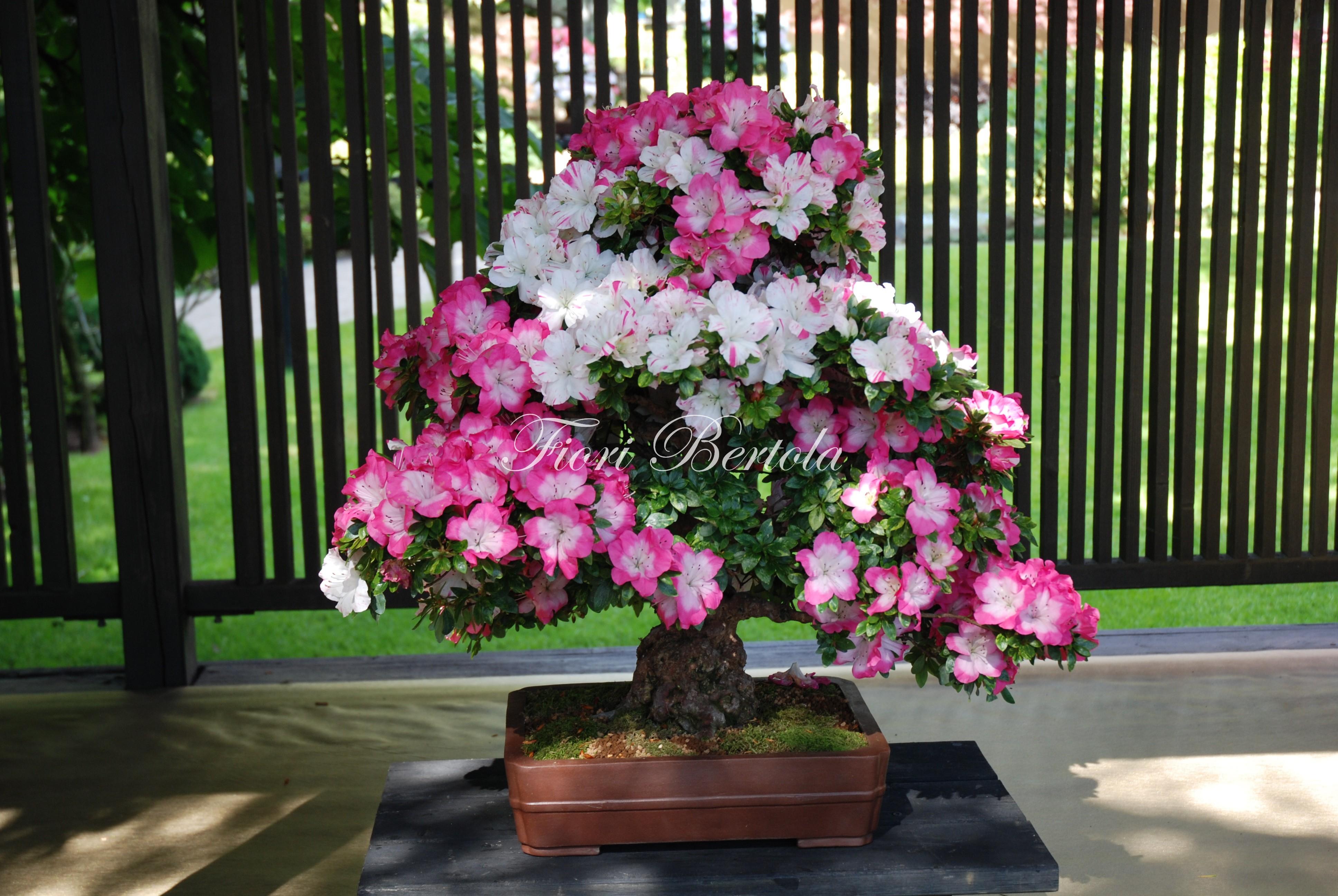 Fiori Bertola centro bonsai Mortara