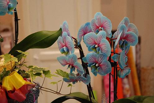 Orchidea Magic Blue (€30/65)