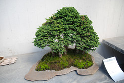 Boschetto di bonsai Zelcova