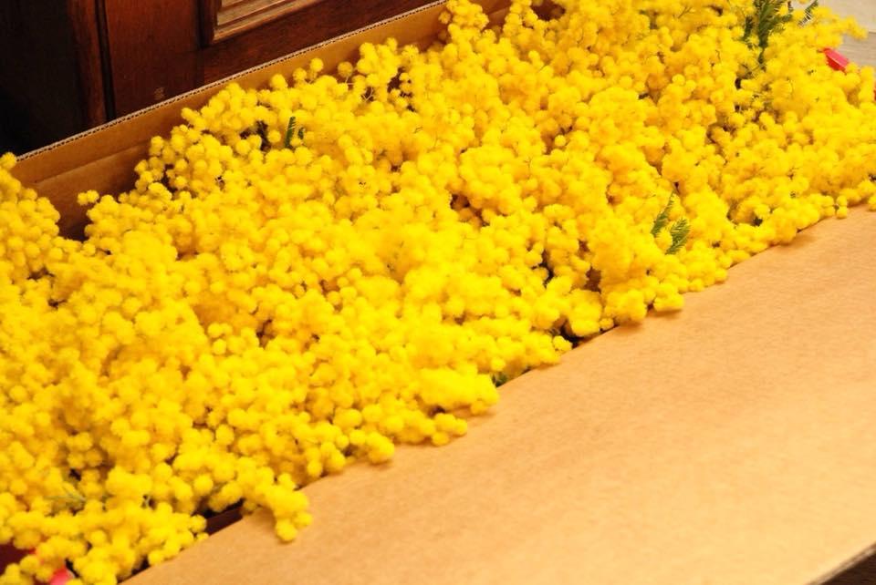 mimosa mortara festa donna