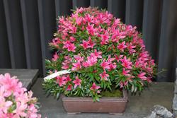 Azalea rododendro bonsai