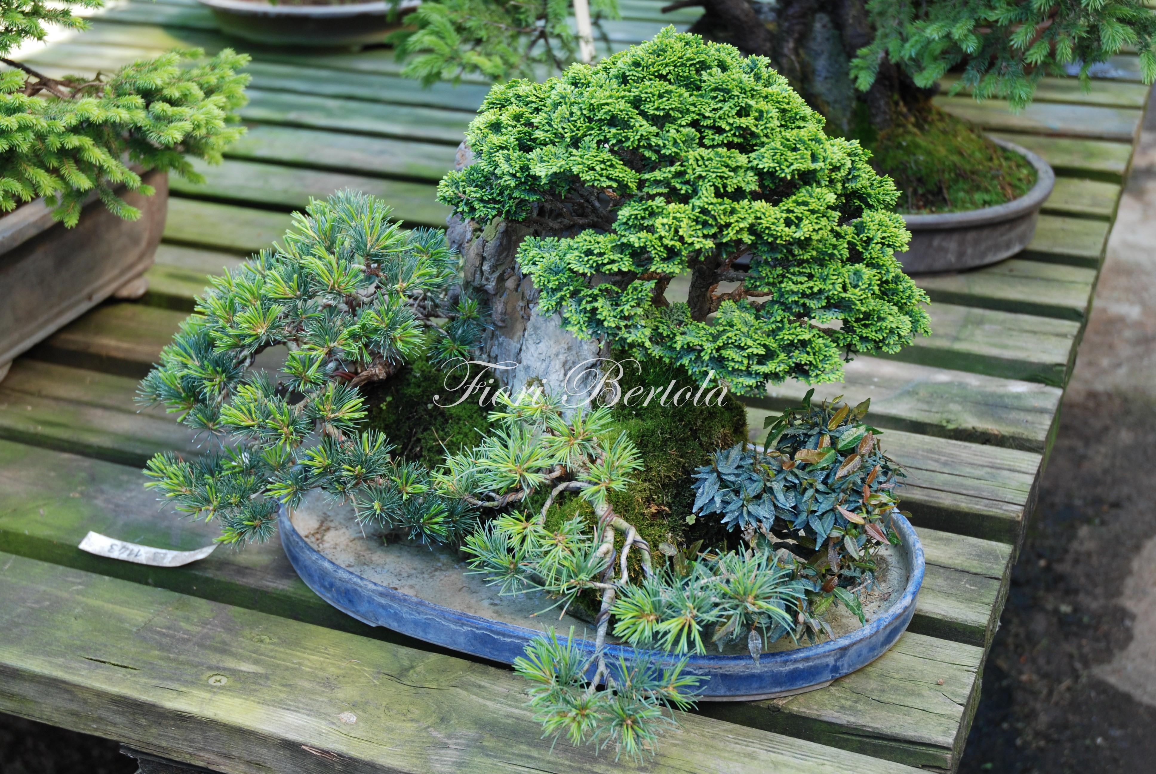 Pinus Pentaphylla su roccia