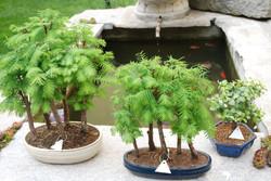 Bonsai sequoie