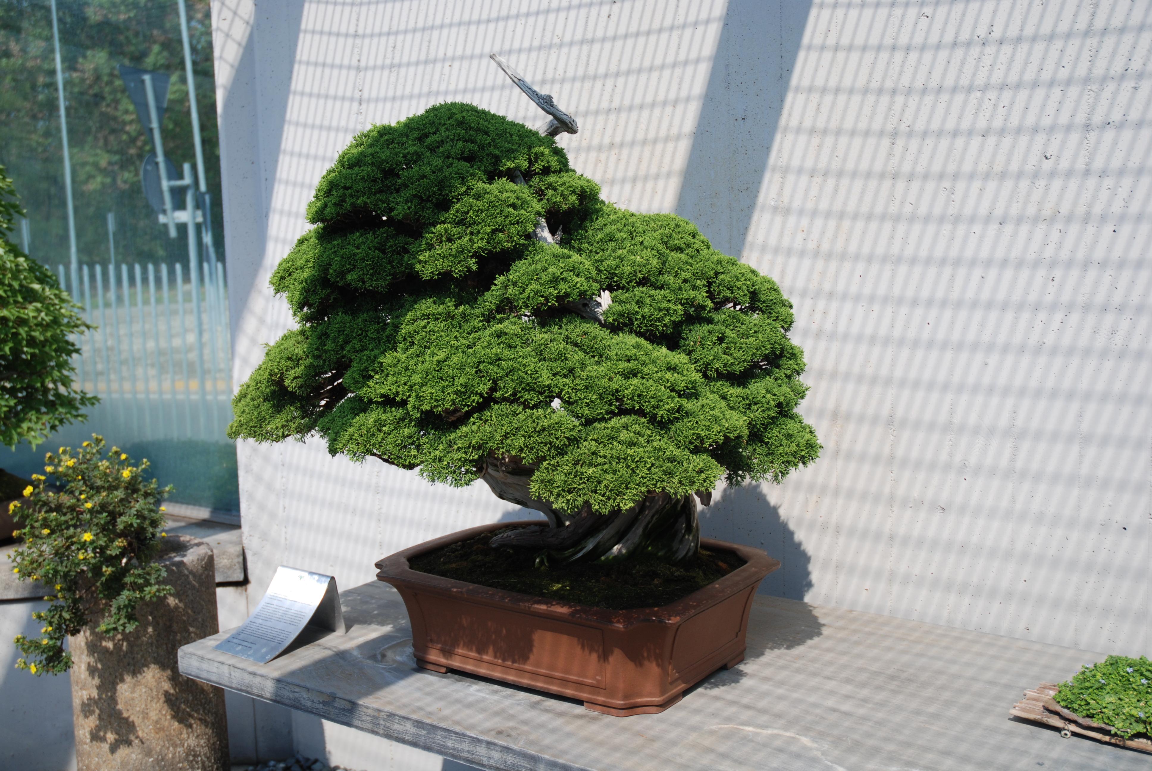 Bonsai Juneperus centenario