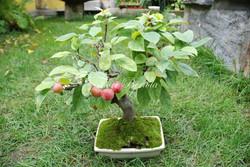 Bonsai Malus in autunno