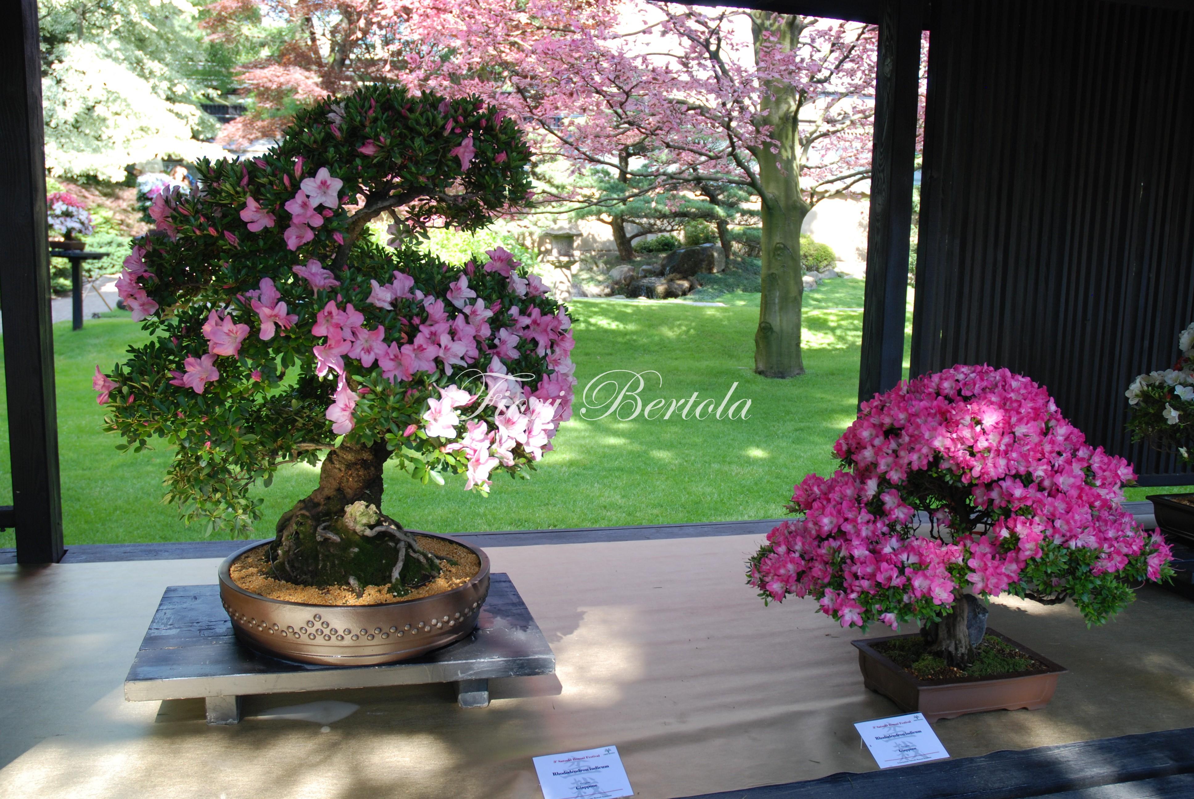 Azalee rododendro bonsai