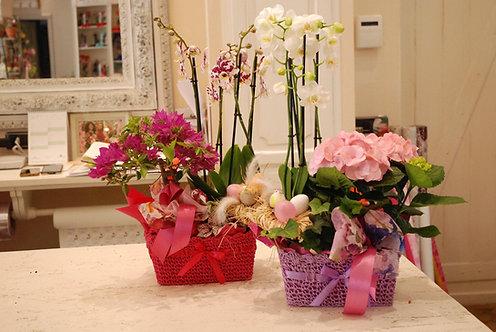 Orchidee Phalaenopsis (€28/228)