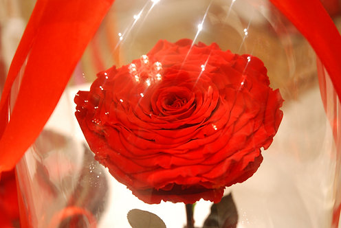 rosa rossa san valentino