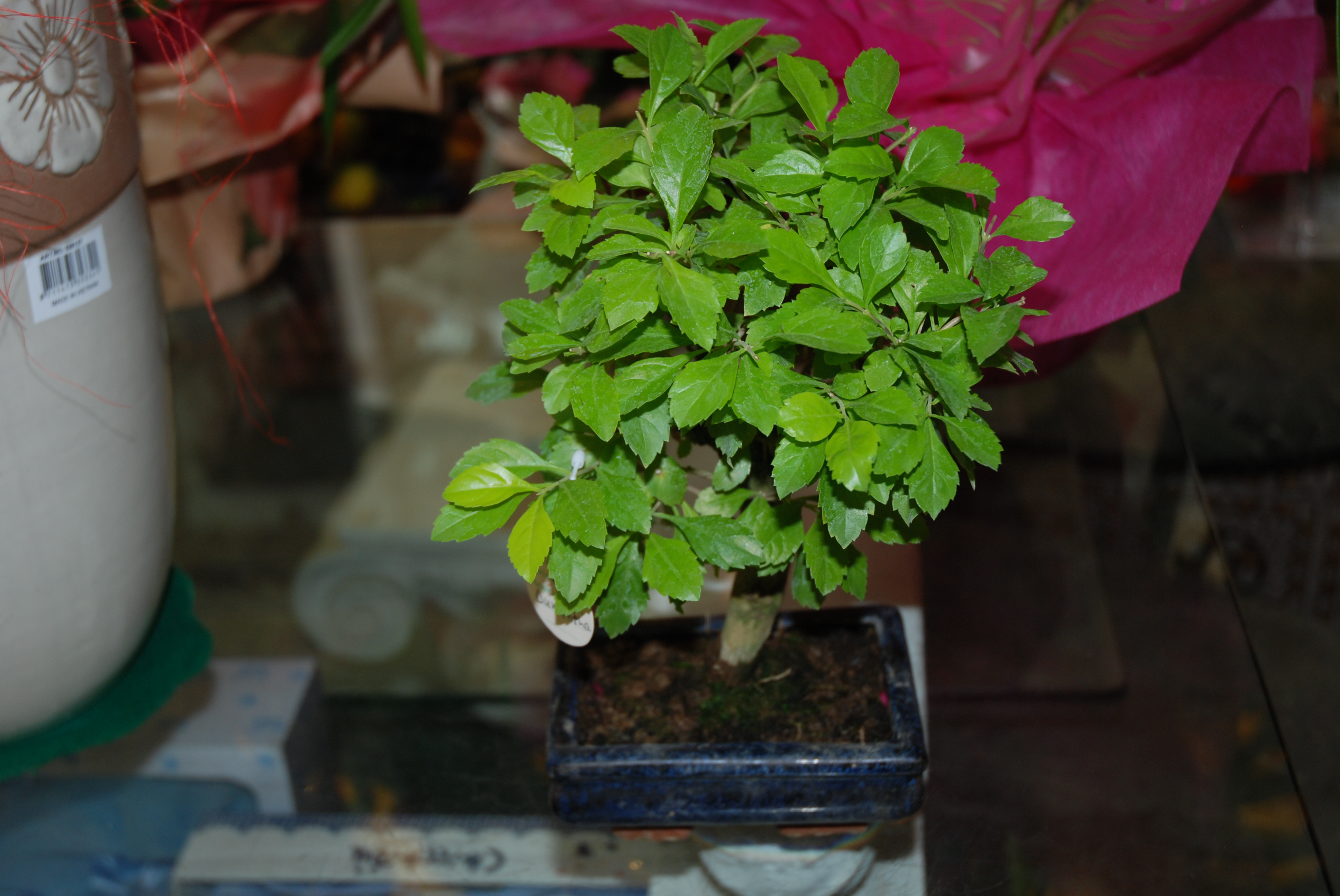 Bonsai Sageretia