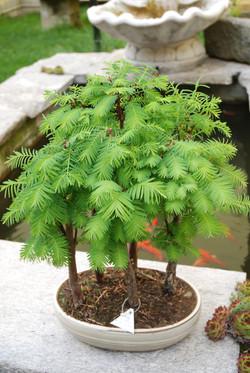 Bonsai sequoia