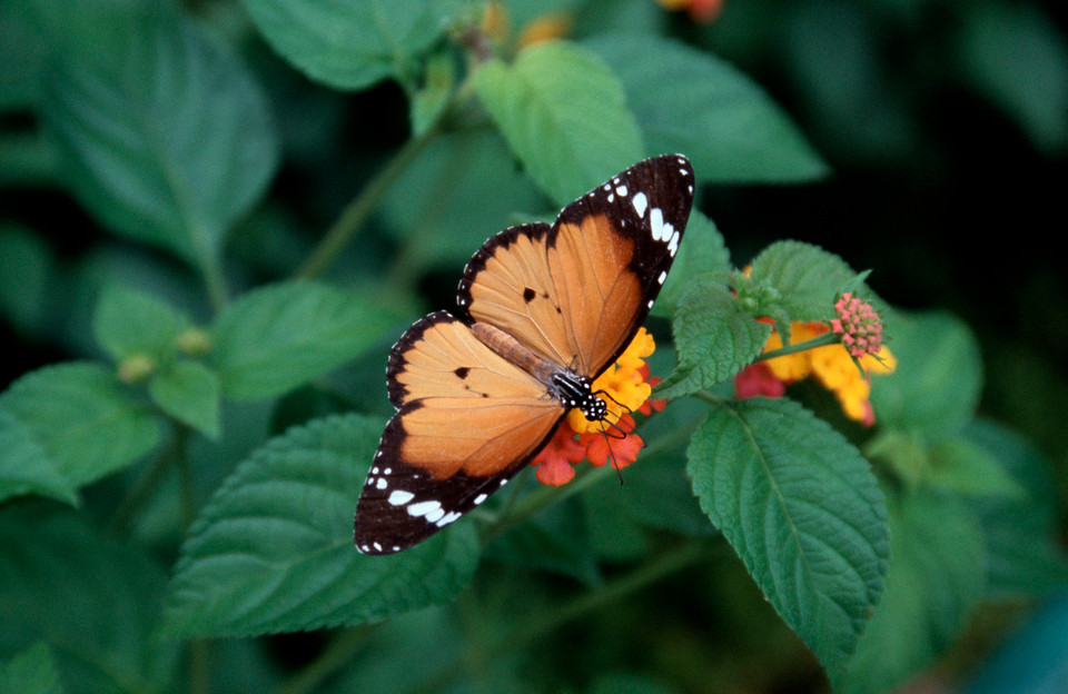 A butterfly, one of the world's pollinators, in the Philippines. Globally, pollinators are in trouble because of human activity, including pesticides and development. (© Conservation International/photo by Haroldo Castro)